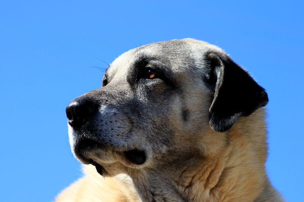 Порода собак Кангал, фото